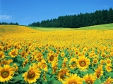 Beatiful Sunflowers