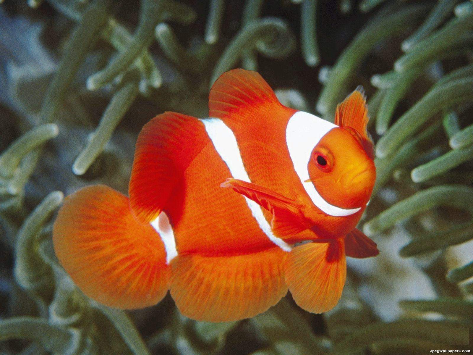 Clown fish wallpaper for Pictures of clown fish