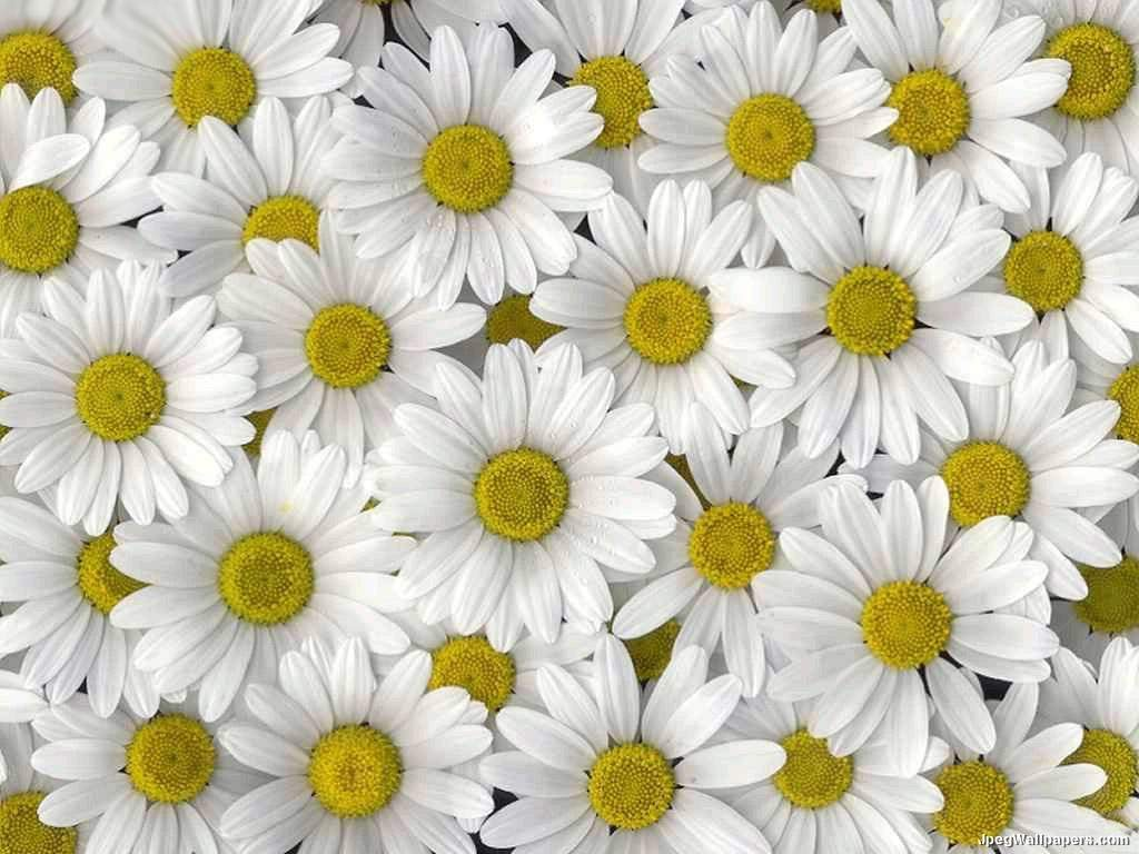Butterfly free wallpaper daisy wallpaper Where did daisies originate