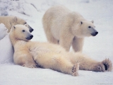 Ice Bear Relax