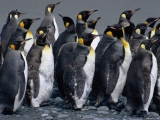 Pinguins 10