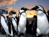 Pinguins 14