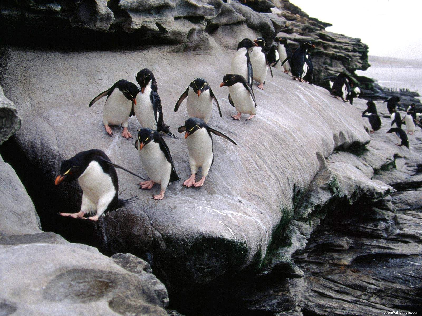 Pinguins 9