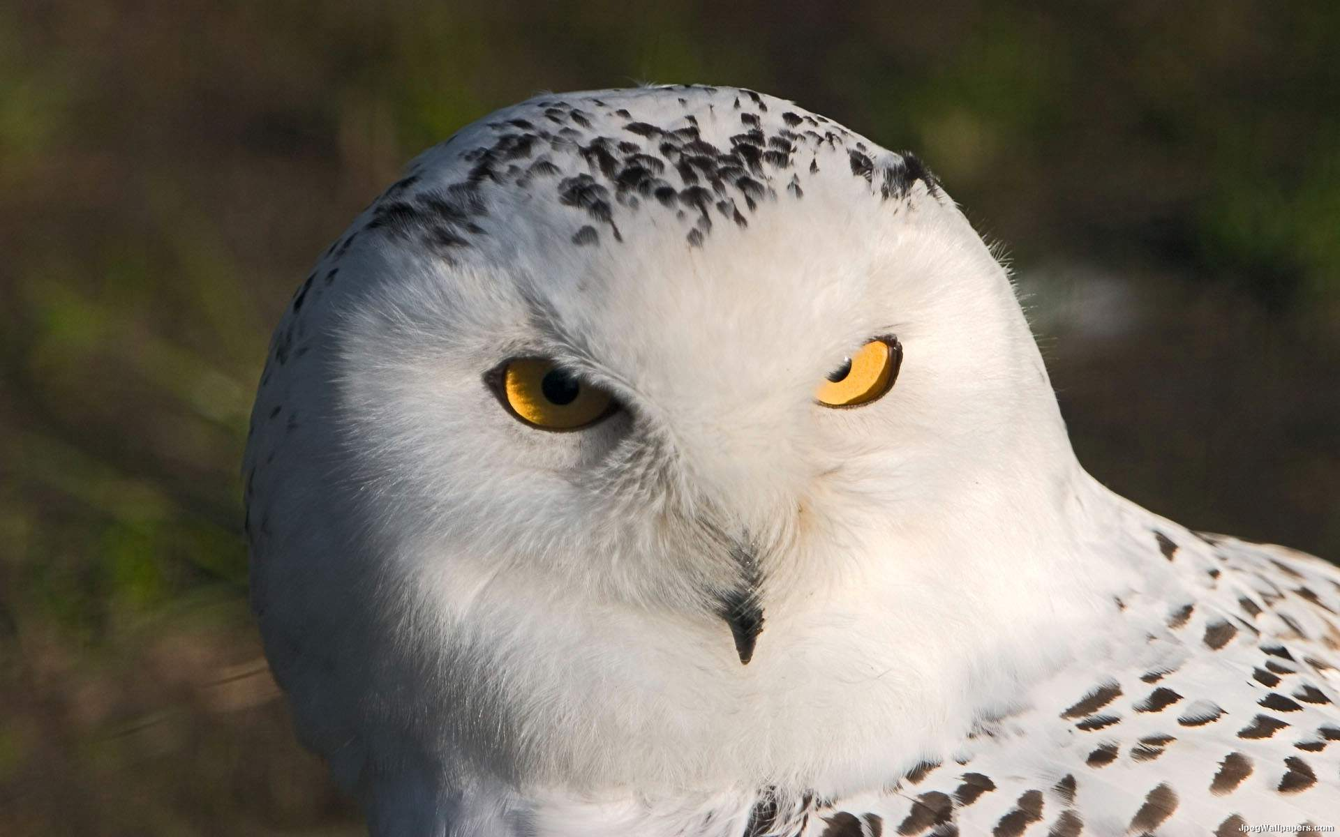 Snowy Owl Wallpaper 7685