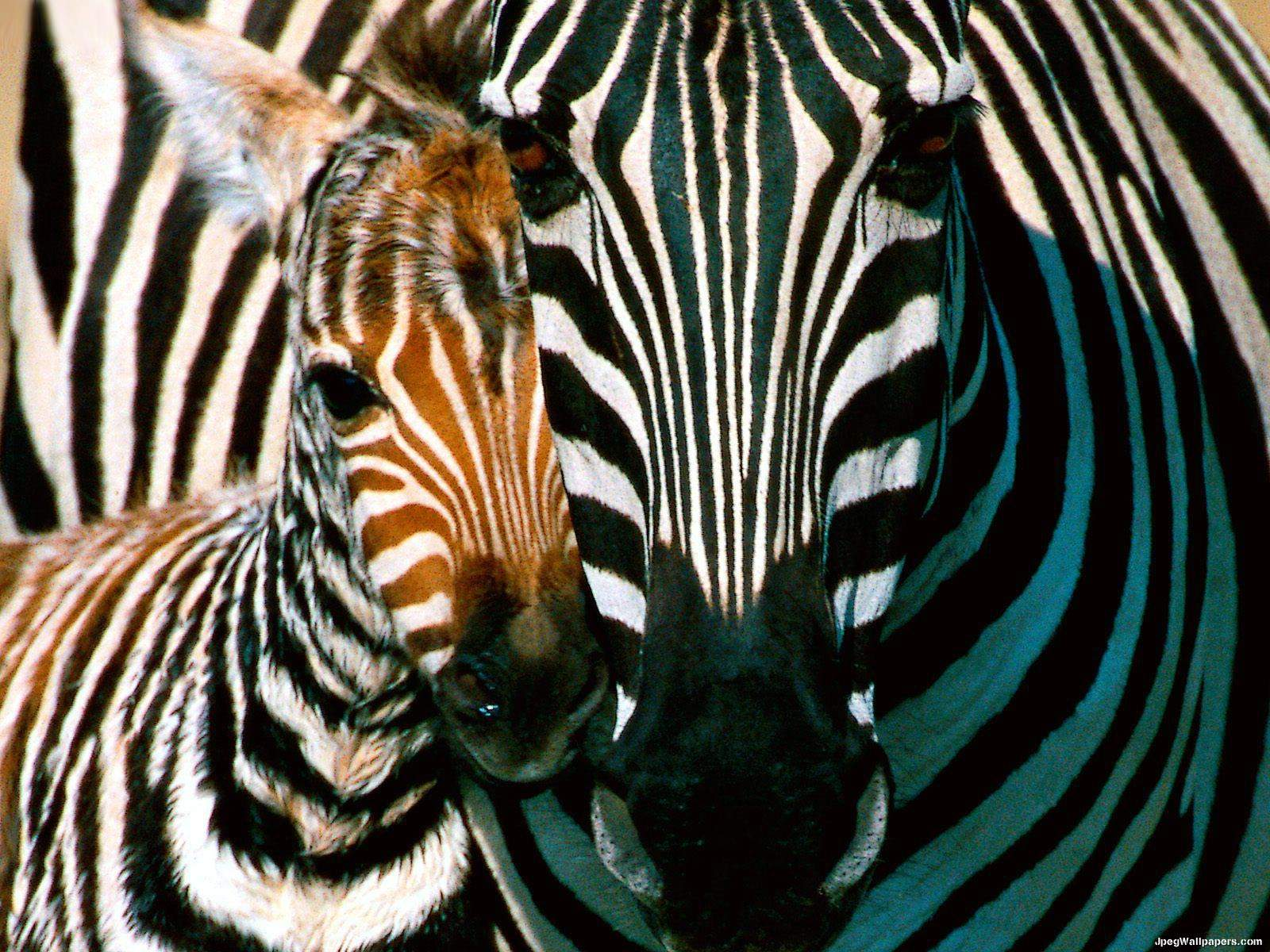 Zebra wallpaper for Zebra wallpaper