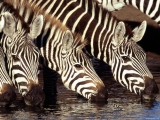 Zebras at the Water